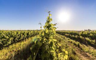 Weinlese 2020 – Südafrikas Winzer dürfen Ernte abschließen