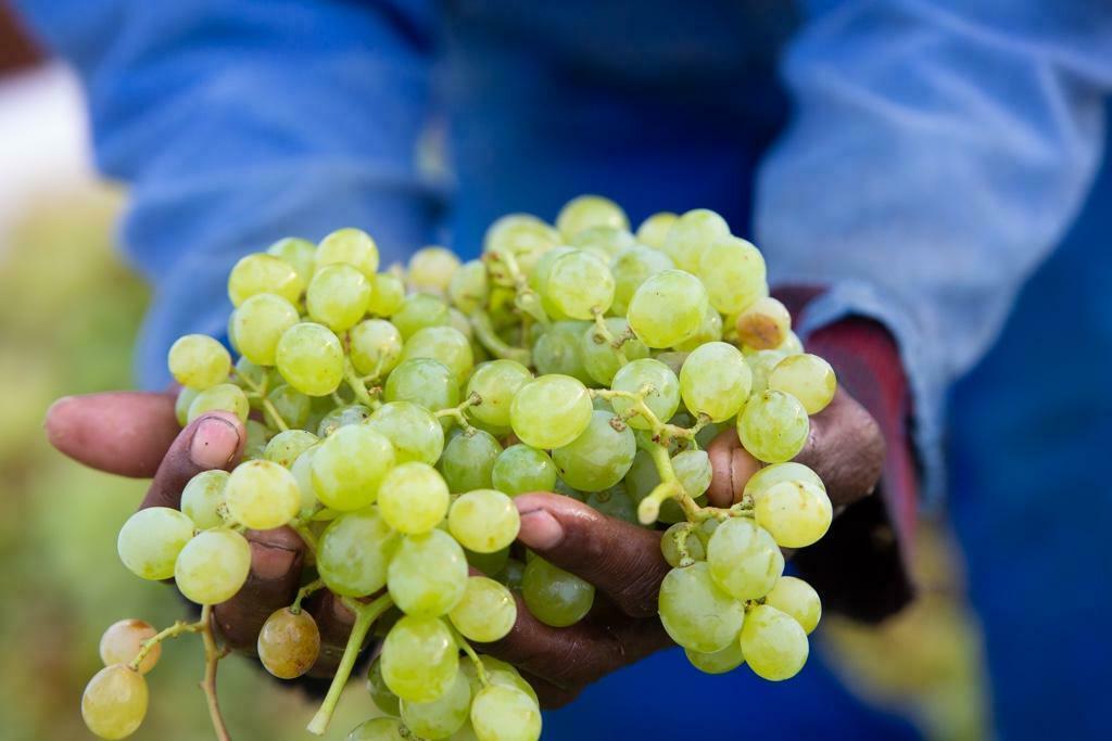 Südafrikas Weinjahrgang 2020 – herausragende Qualität bei geringer Menge
